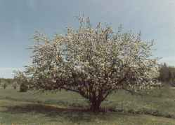 [Image: Photo taken by author of an apple tree in full blossom. Intended for mood and backdrop only.]